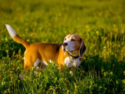 Beagle hunting dog stands on a background of green grass, evening, sunlight, field, spring, summer, autumn