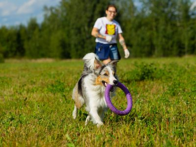 Border Collie dog. Stroll. Plays. Jumps. Running around. Training. Field. Day. Summer. The sun
