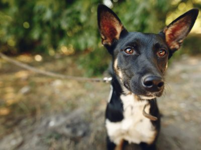 funny  dog from shelter with big ears posing outside in sunny park, adoption concept