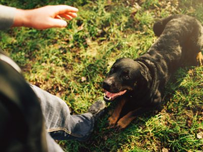 Male cynologist with working dog, training outside. Owner with his obedient pet outdoor, bloodhound domestic animal