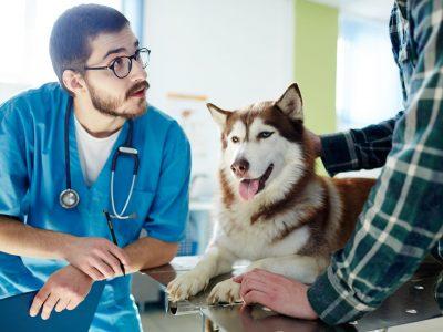 Vet expert consulting owner of husky dog in clinic