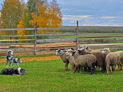 Two Border Collies working as sheepdogs with flock of sheep in a meadow