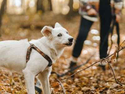 Stylish woman walking with adorable funny white dog in sunny autumn woods. Cute swiss shepherd puppy with funny emotions in autumn forest. Space for text